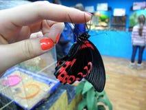 Красивая бабочка льнет к пальцам Чернота и красный цвет Machaon стоковое фото