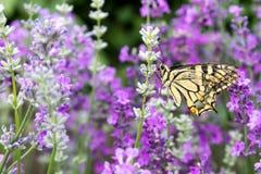Красивая бабочка на лаванде Стоковое Изображение RF