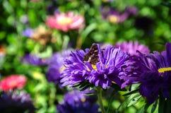 Красивая бабочка на астре Стоковое Изображение RF