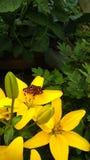 Красивая бабочка на желтой лилии Буше стоковые изображения