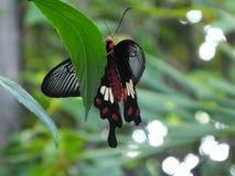 Красивая бабочка на лист в Камбодже Стоковое фото RF