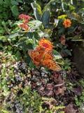 Красивая бабочка на солнечный день Флориды Стоковые Изображения RF