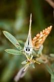 Красивая бабочка (общая синь, Polyommatus Икар) Стоковые Фото