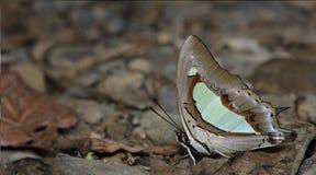 Красивая бабочка, общее Nawab, athamas Polyura стоковые фото