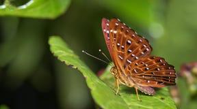 Красивая бабочка, общее Punchinello, flegyas Zemeros стоковое фото rf