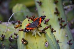 Красивая бабочка опыляя и есть цветок кактуса Стоковые Фотографии RF