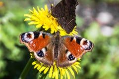 Красивая бабочка павлина на одуванчике стоковые изображения rf