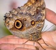 Красивая бабочка сидя на руке Стоковые Фотографии RF