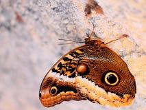 Красивая бабочка сыча на стене Стоковые Фотографии RF