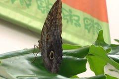Красивая бабочка сыча стоковые изображения
