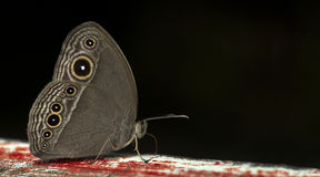 Красивая бабочка, Темн-бренд Bushbrown, mineus Mycalesis Стоковая Фотография RF