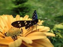 Красивая бабочка Amata Phegea сидит на a на желтом цветке Конец-вверх стоковое фото