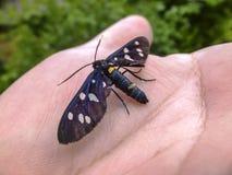 Красивая бабочка Amata Phegea сидит на руке Конец-вверх Открытый воздух стоковые фотографии rf
