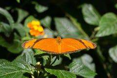 Красивая бабочка iulia Dryas Джулии Heliconian стоковые фотографии rf