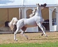 Красивая белая египетская аравийская лошадь стоковая фотография rf