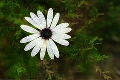 Красивая белая маргаритка на естественной предпосылке стоковое фото rf