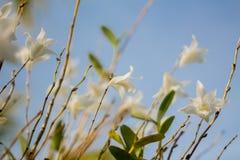 Красивая белая орхидея цветет голубое небо в Пхукете Таиланде Стоковые Изображения
