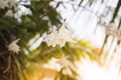 Красивая белая орхидея цветет небо в Пхукете Таиланде Стоковая Фотография