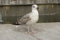 Красивая белая птица чайки идя в город Стоковое Изображение RF