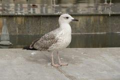 Красивая белая птица чайки идя в город Стоковое фото RF