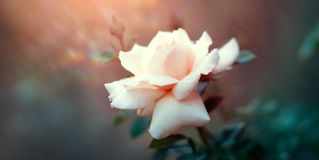 Красивая белая роза зацветая в саде лета Растущее цветков белых роз outdoors Природа, blossoming цветок Стоковые Фотографии RF