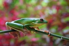 Красивая белая lipped древесная лягушка на ветви Стоковая Фотография RF