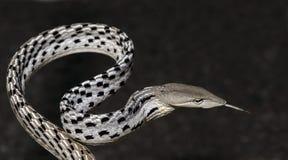 Красивая белая змейка с языком, восточная змейка хлыста Стоковые Фото
