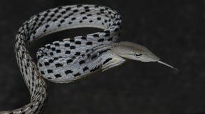 Красивая белая змейка с языком, восточная змейка хлыста Стоковая Фотография