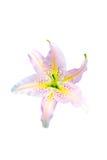 Красивая белая изолированная лилия Стоковые Фото