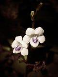 Красивая белая и фиолетовая предпосылка цветка Стоковые Фотографии RF