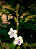 Красивая белая и фиолетовая предпосылка цветка Стоковая Фотография