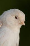 Красивая белая канерейка Стоковая Фотография RF