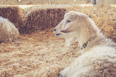 Красивая белая коза с роскошным мехом ослабляет среди связок сена на стране справедливо Стоковое фото RF