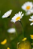 Красивая белая маргаритка стоковое изображение rf