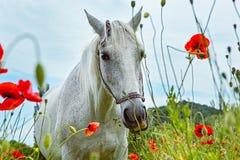 Красивая белая лошадь в маках поля Стоковая Фотография