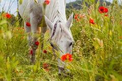 Красивая белая лошадь в маках поля Стоковое Изображение RF