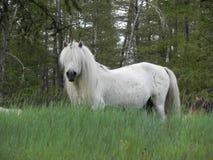 Красивая белая лошадь в поле стоковое изображение rf