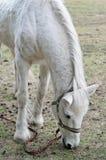 Красивая белая лошадь на выгоне Стоковые Фотографии RF