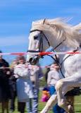 красивая белая лошадь Стоковое Фото