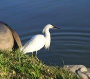 Красивая белая птица на побережье озера. Стоковое фото RF