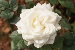 Красивая белая роза букета зацветая в саде Стоковая Фотография RF