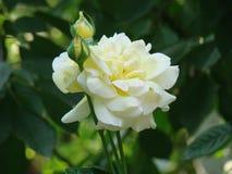 Красивая белая роза на flowerbed стоковые фото