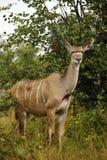 Красивая большая корова Kudu Стоковые Изображения
