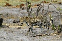 Красивая большая кошка Стоковые Изображения RF