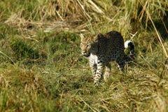 Красивая большая кошка Стоковые Фото