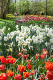 Красивая весна цветет весной сад Keukenhof, Lisse, Нидерланды Стоковая Фотография
