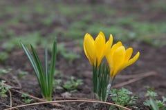 Красивая весна цветет желтый цвет крокусов Стоковые Фотографии RF