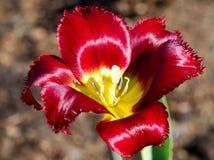 Красивая весна цветет - красные тюльпаны, край стоковые фотографии rf