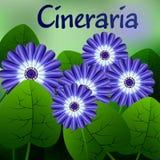 Красивая весна цветет Cineraria карточки или ваш дизайн с космосом для текста вектор Стоковая Фотография