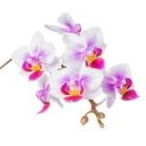 Красивая ветвь орхидеи белых и сирени, фаленопсиса iso Стоковые Изображения